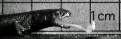 salamandertongue.jpg
