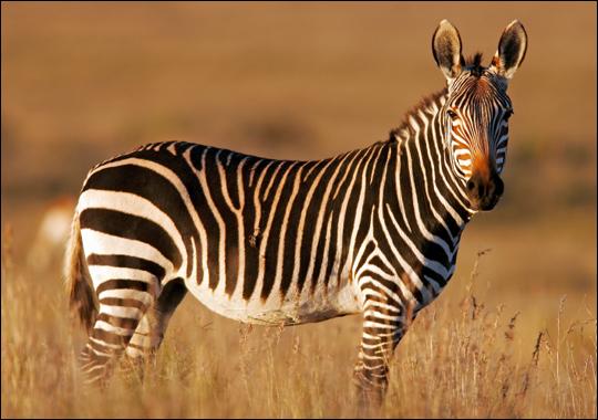 Mountain zebra on community land in Namibia