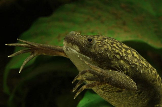 An African clawed frog, the species that introduced the chytrid fungus to the world. (Photo: H. Krisp/Wikimedia Commons)