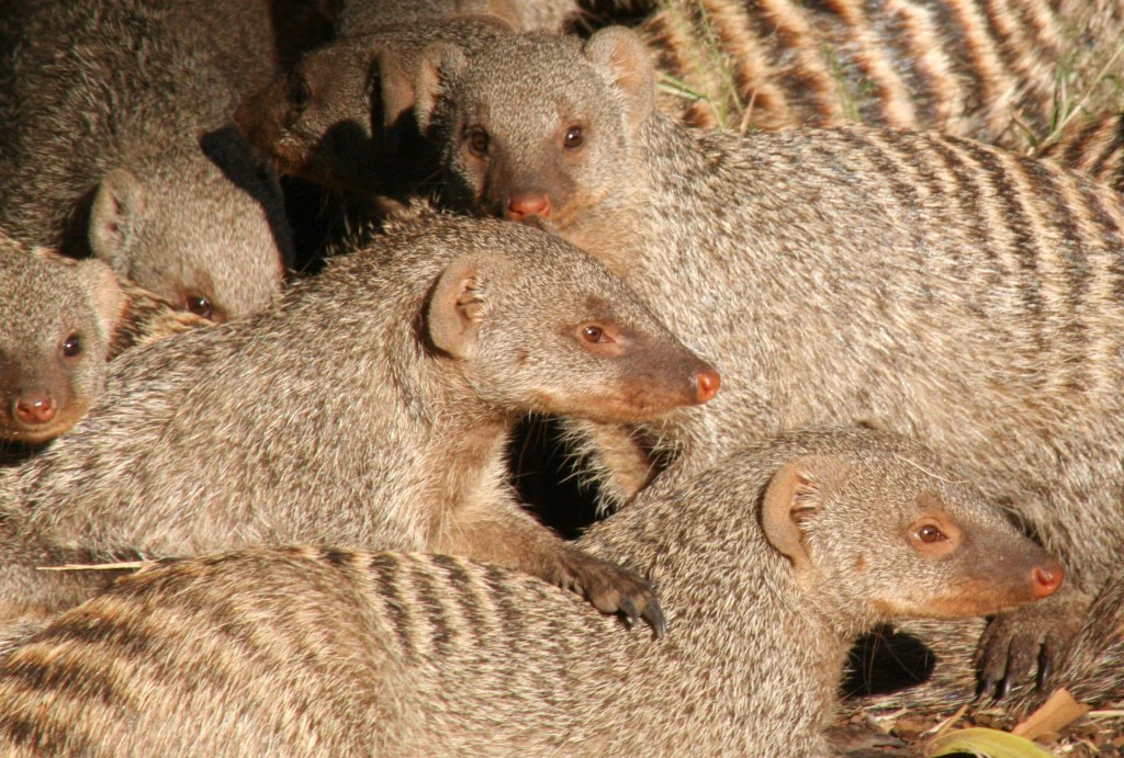 Banded mongoose at Botswana's Chobe National Park