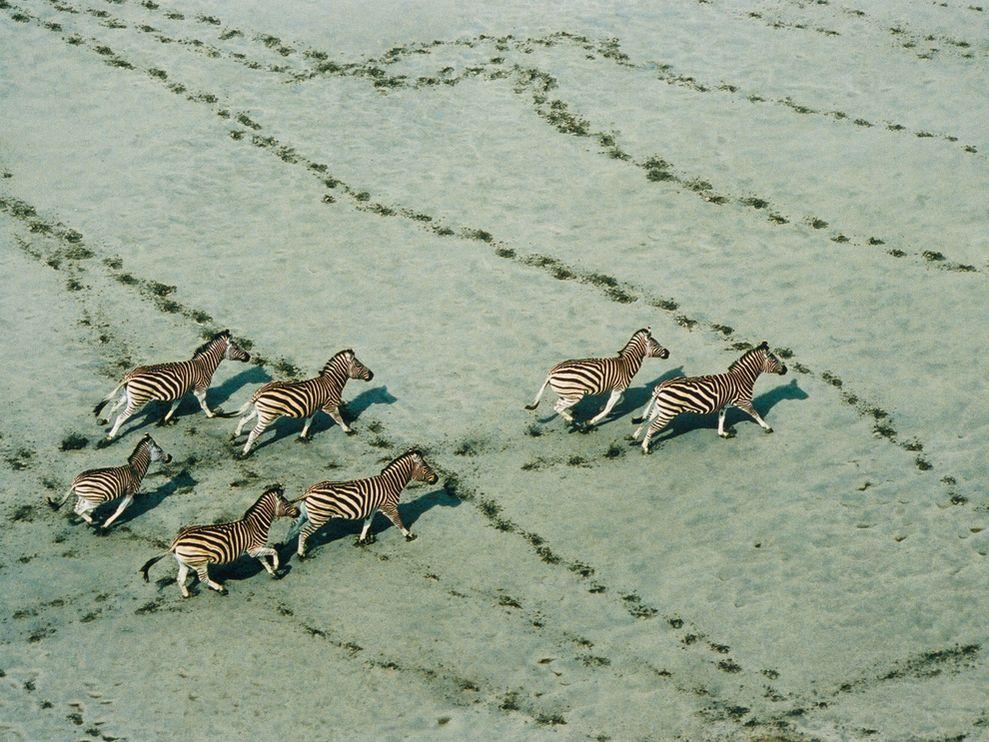 Zebras migrating in Botswana (Photo: Robert B. Haas)