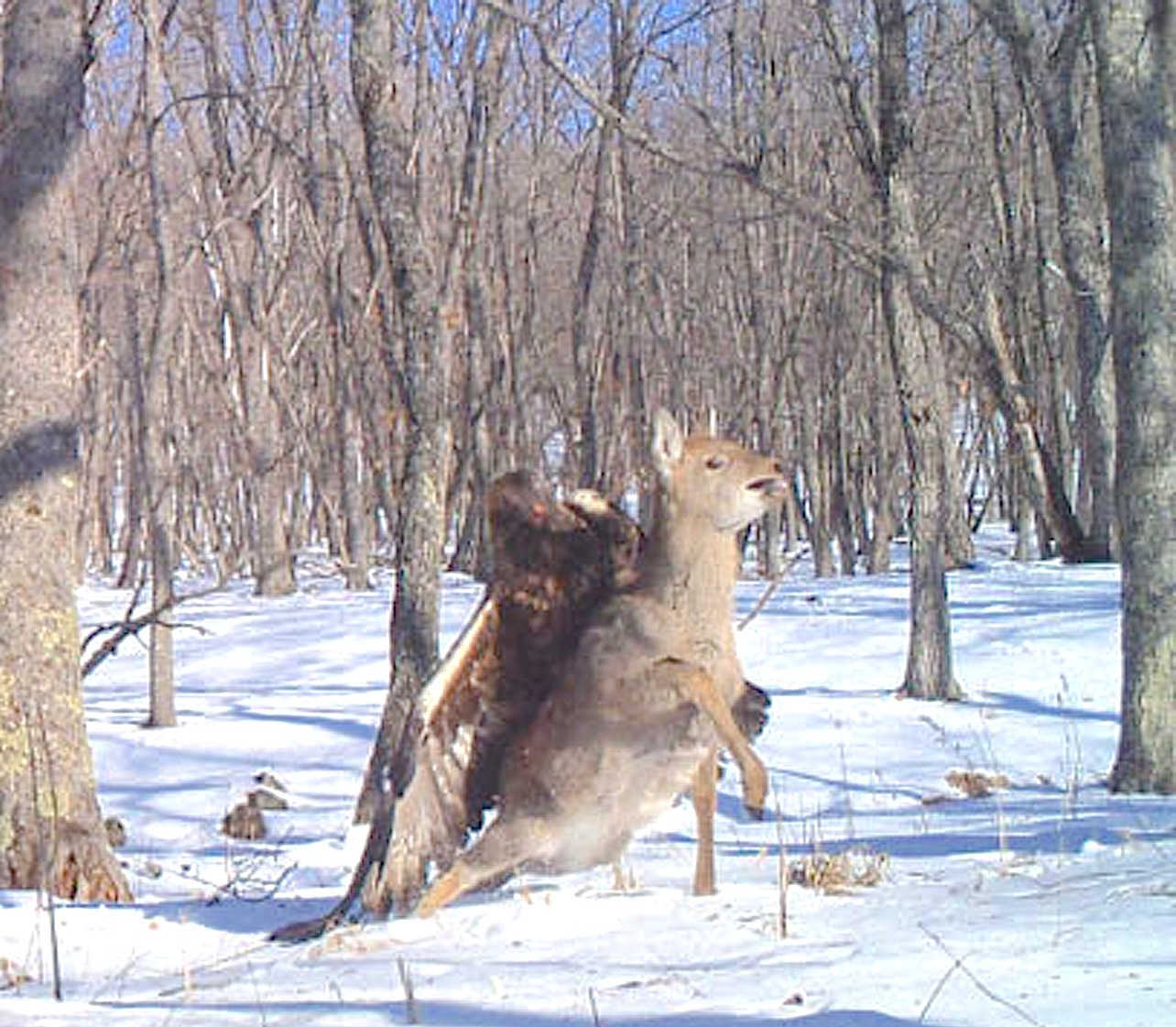Eagle Schools Deer On Dinosaur Ancestry 171 Strange Behaviors