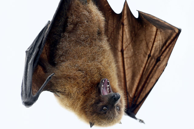 A Rodrigues fruit bat just hanging out. (Photo: Arnd Wiegmann/Reuters)