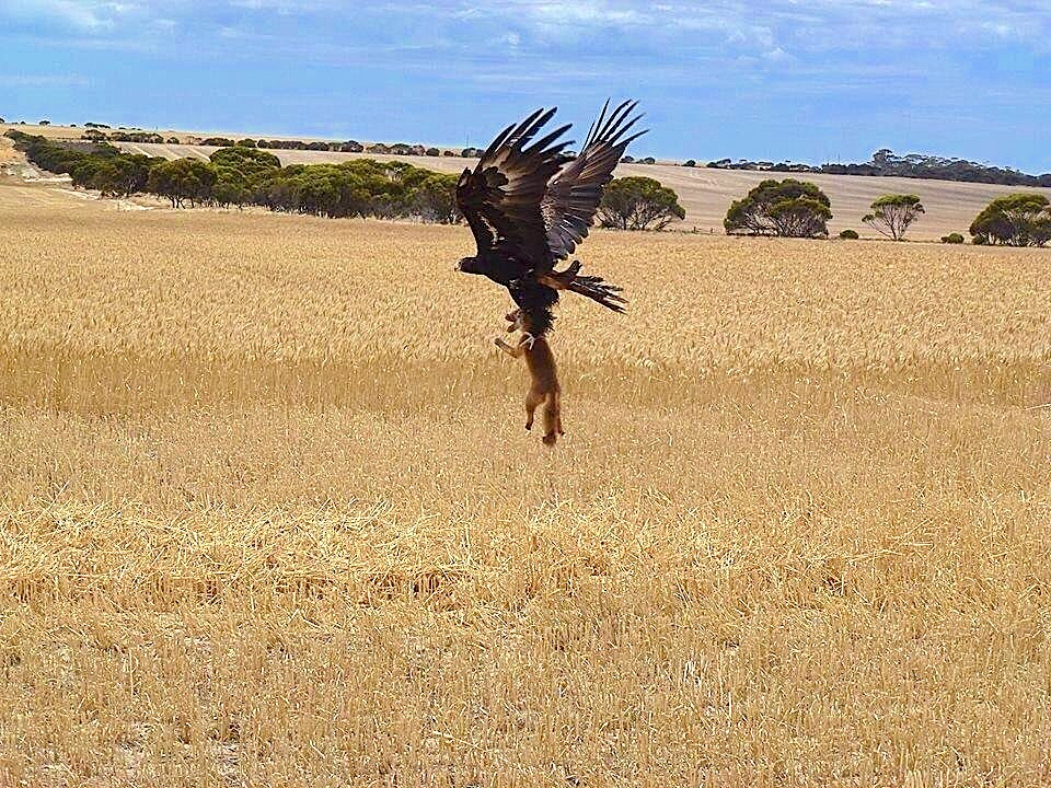bird seizes fox