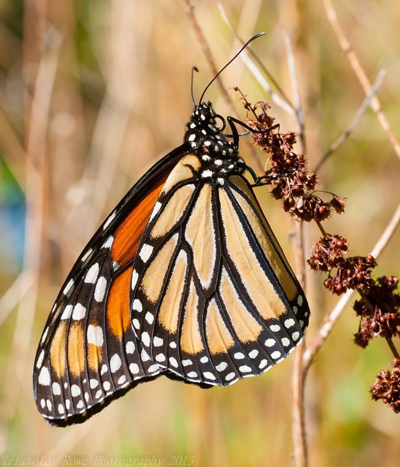 Monarch butterfly (Photo: Kristofer Rowe)