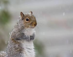 Gray squirrel (Photo: Kristofer Rowe)