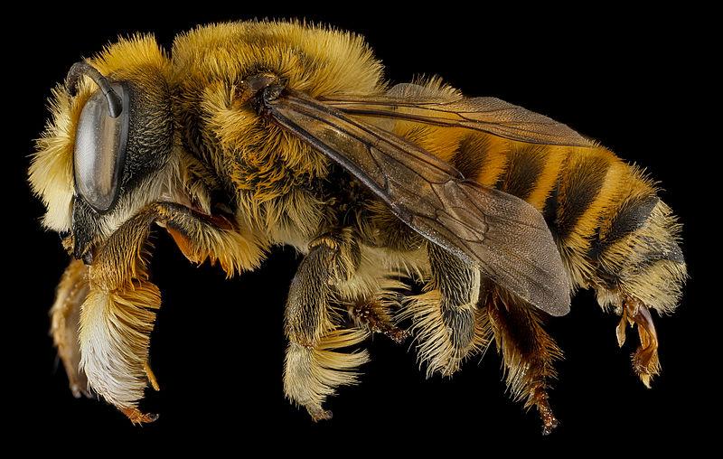 One of our forgotten pollinators: Megchile fortis from Badlands National Park, South Dakota (Photo: USGS/Sam Droege)