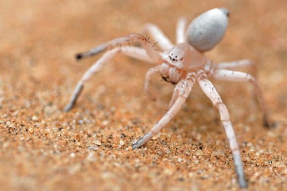 Wheel spider (Photo: hamariweb.com)