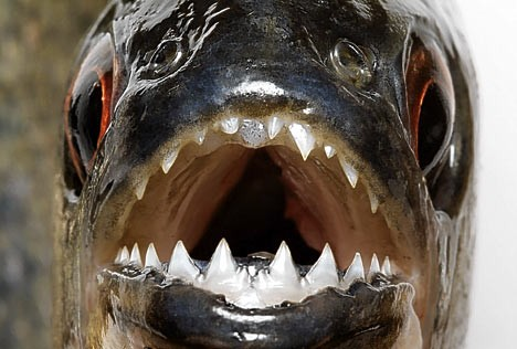 bloodthirsty-piranha06