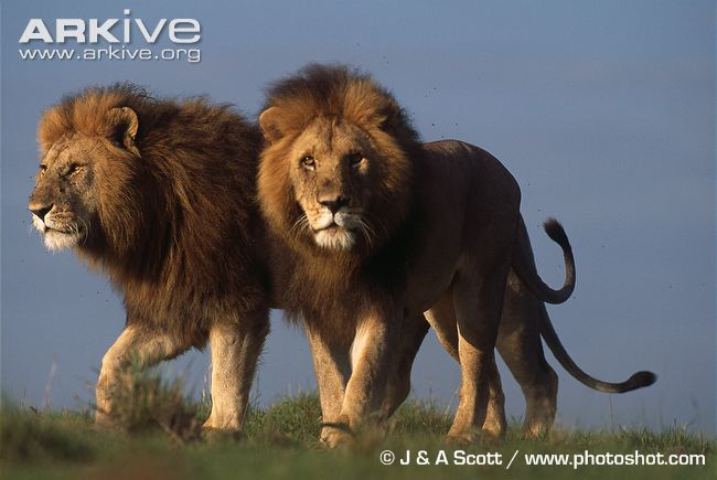 Two-African-lions
