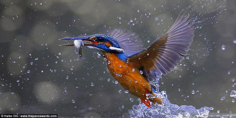 kingfisher by Haibo Chi