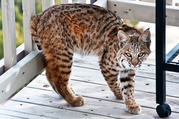 Bobcats live all around us.  (Photo: John Fowler/Flickr)