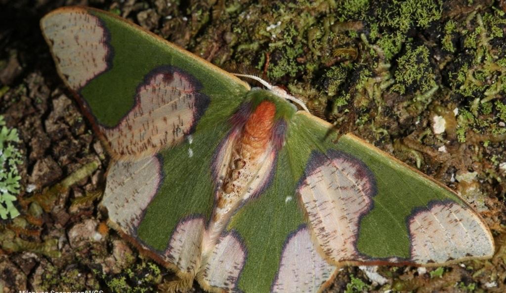 Oospila albicoma matura