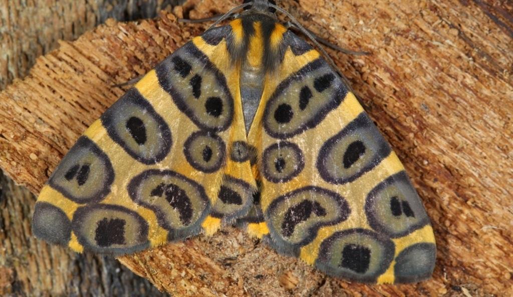 A new geometrid moth