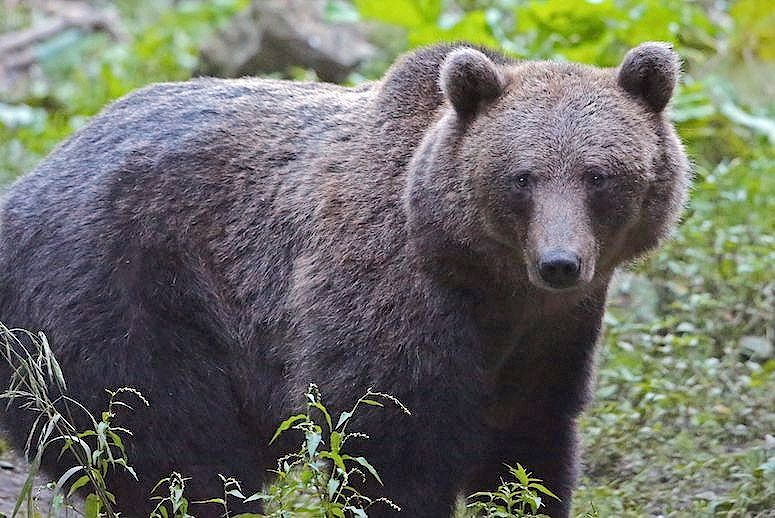 One of the European brown bears that roam Romania's Carpathian Mountains. (Photo: Jamie Lamb/Getty Images)