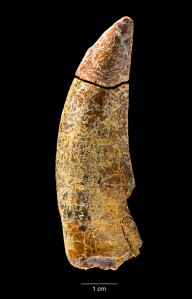 Tooth of the new tyrannosaur Timurlengia euotica, found in Uzbekistan.