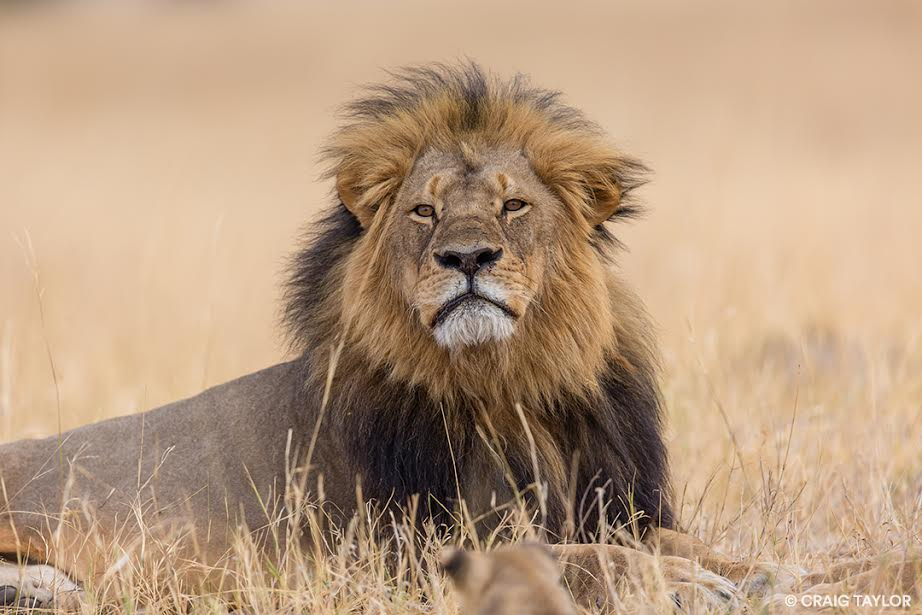 One cause worth your donation (Photo: Craig Taylor/Panthera)
