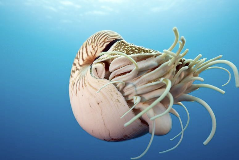 A chambered nautilus off Palau, Micronesia (Photo: Reinhard Dirscherl/ullstein bild via Getty Images)