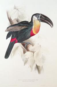 toucan-edward-lear