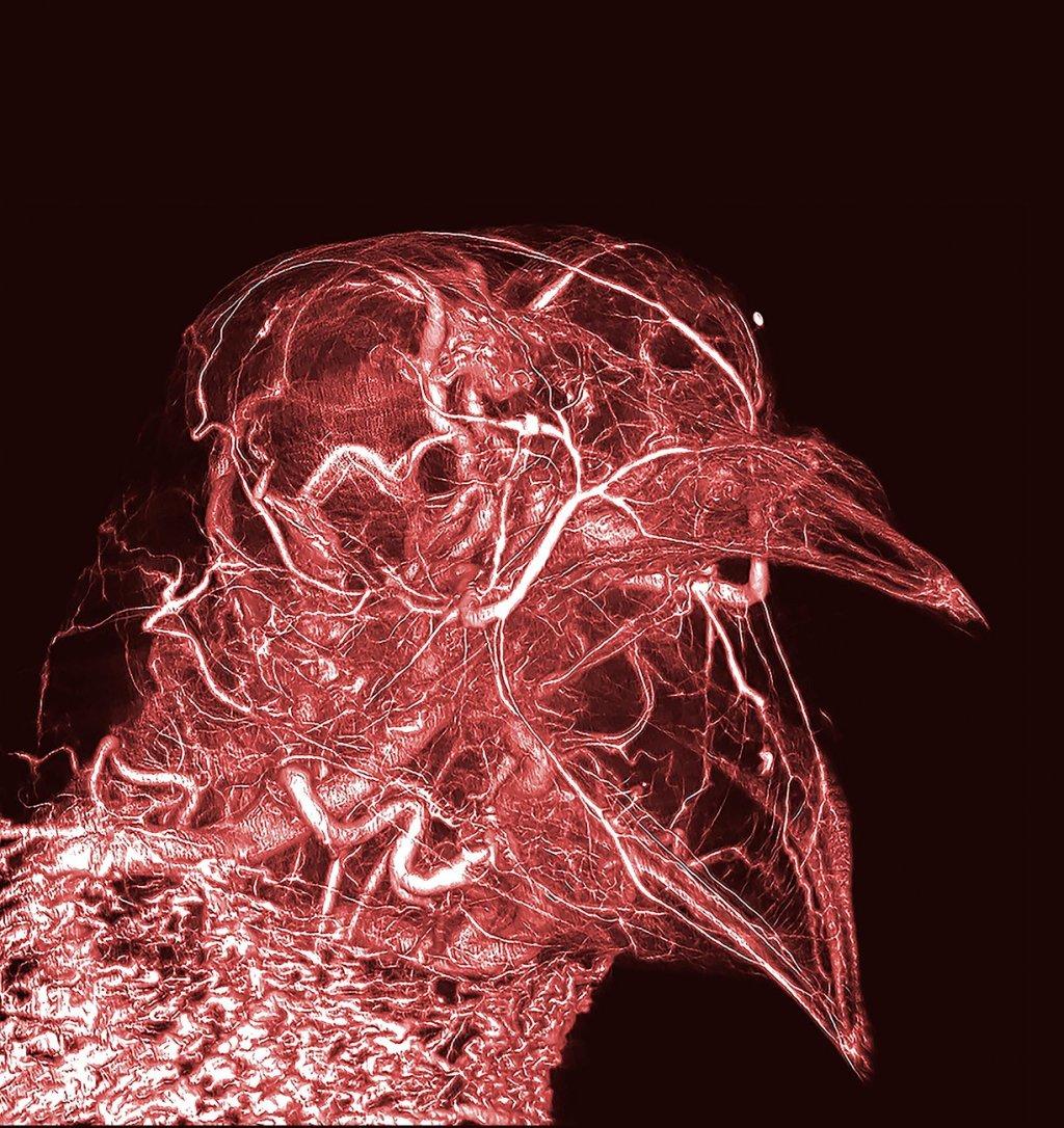 Bloody pigeon (Photo: Wellcome Images/Scott Echols)
